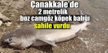 Çanakkale'de altıyarıklı canavar olarak bilinen köpek balığı sahile vurdu.