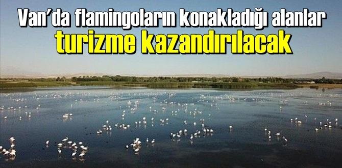 Van Erciş'te, flamingoların konakladığı bölgeler turizme kazandırılacak.