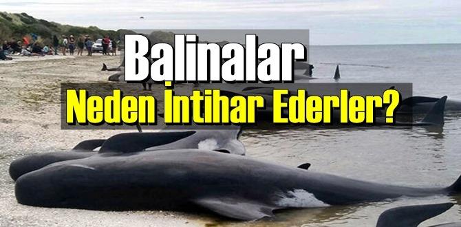 İlginç ama gerçek: Balinalar Neden İntihar Ederler biliyor musunuz!