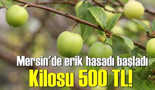 Eriğin bu yılın ilk hasatı yapıldı! fiyatı baş döndürüyor 500 TL.